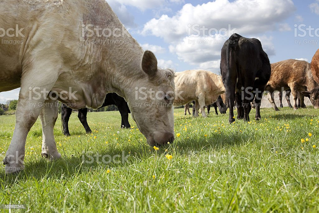 Cows grazing in a Meadow royalty-free stock photo