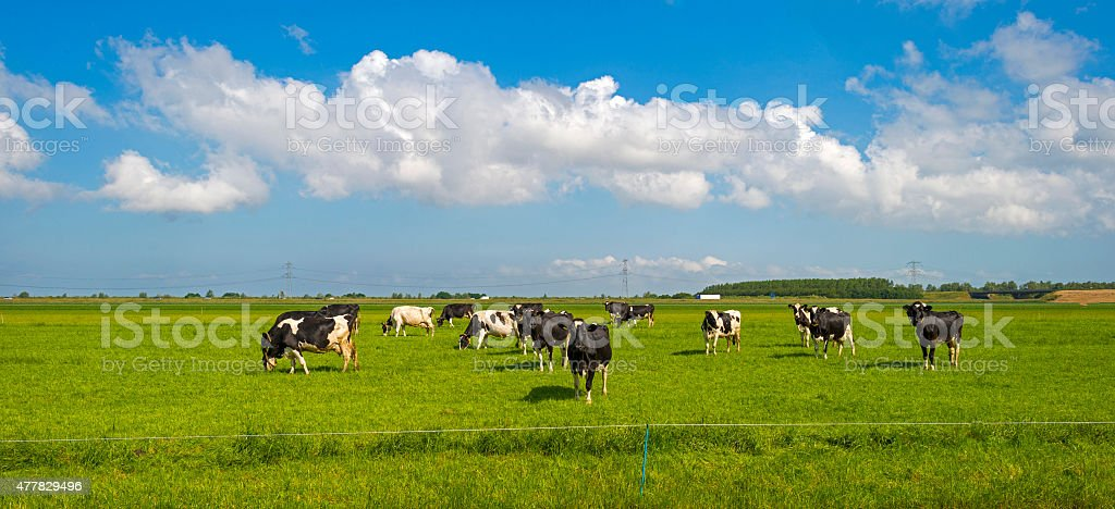 Cows grazing in a sunny meadow in spring stock photo