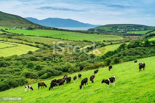 Cows grazing in Ireland