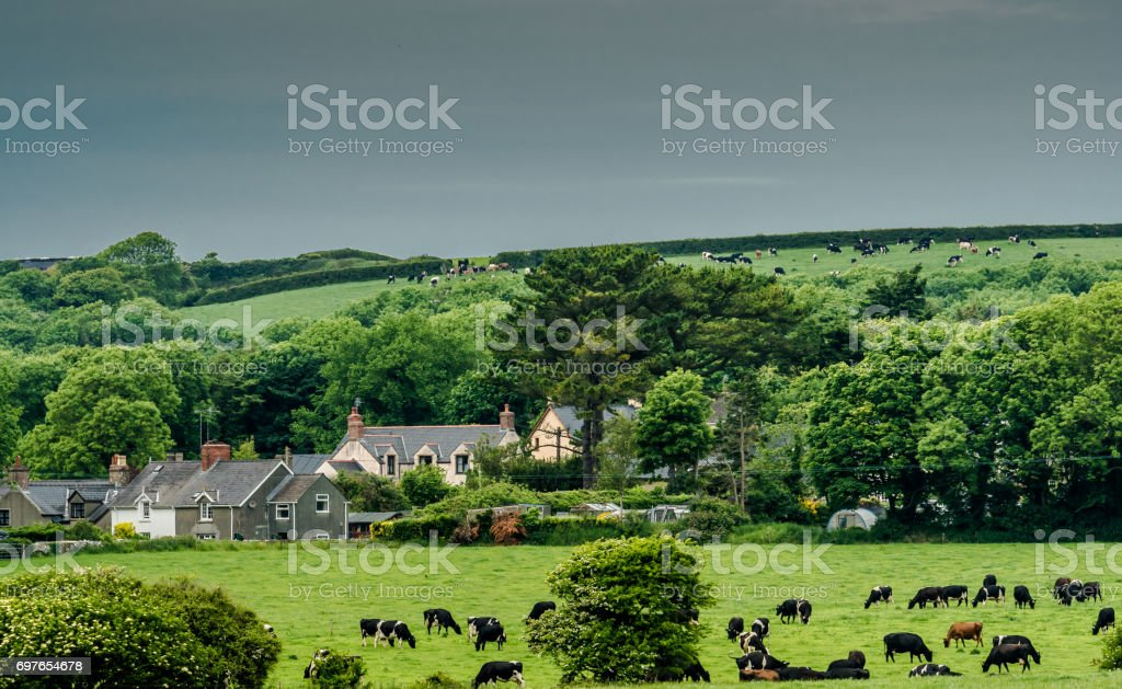 Cows grazing in meadows on the way to barafundle bay stock photo