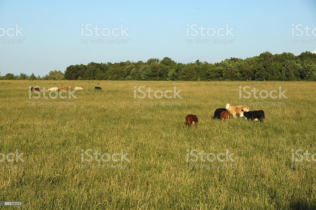 Cows grazing in Ontario countryside stock photo