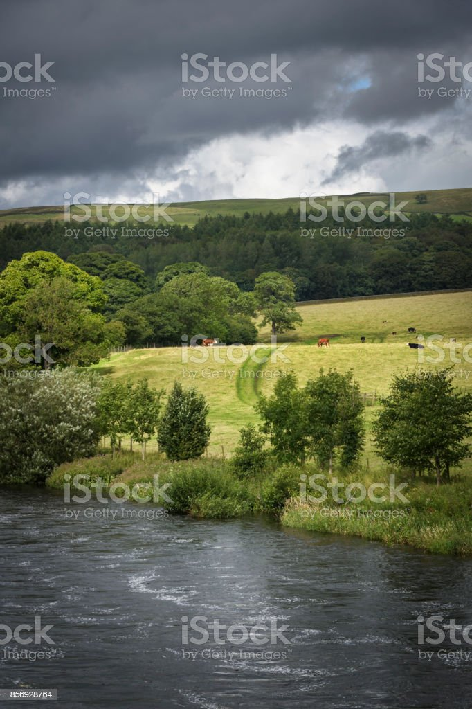 Cows grazing in sunny farmland with river foreground Bolton Abbey England stock photo