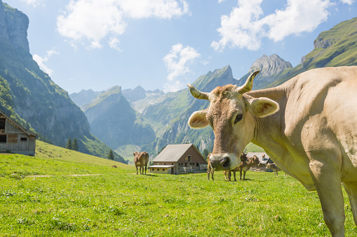 Beautiful natural scenery on a sunny day. Cows roaming free on the grass farmland with high mountains and a barn in the background.