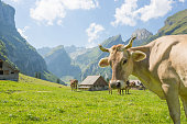 istock Cows grazing in Switzerland's green environment with scenic mountain views. 1267140031