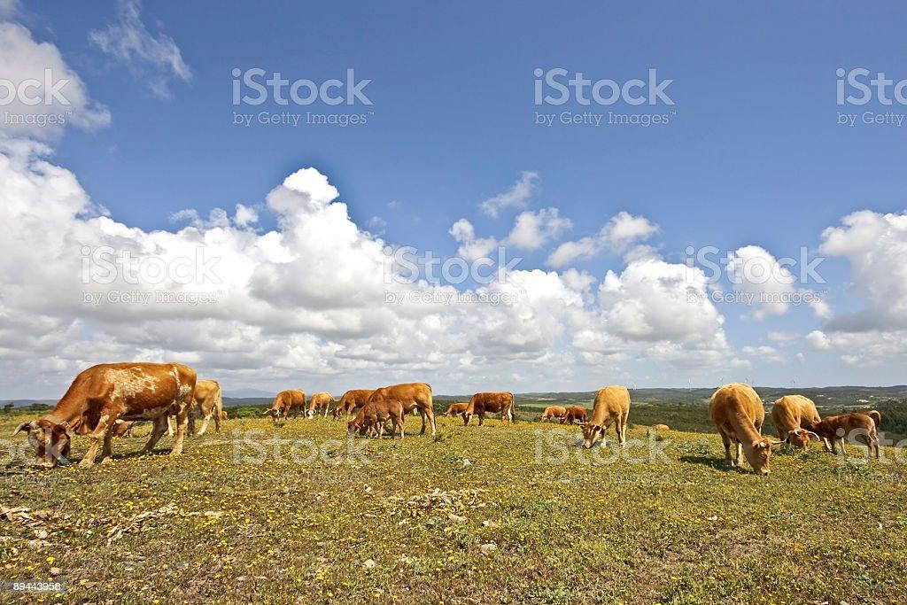 Vaches paissent dans les champs du Portugal photo libre de droits