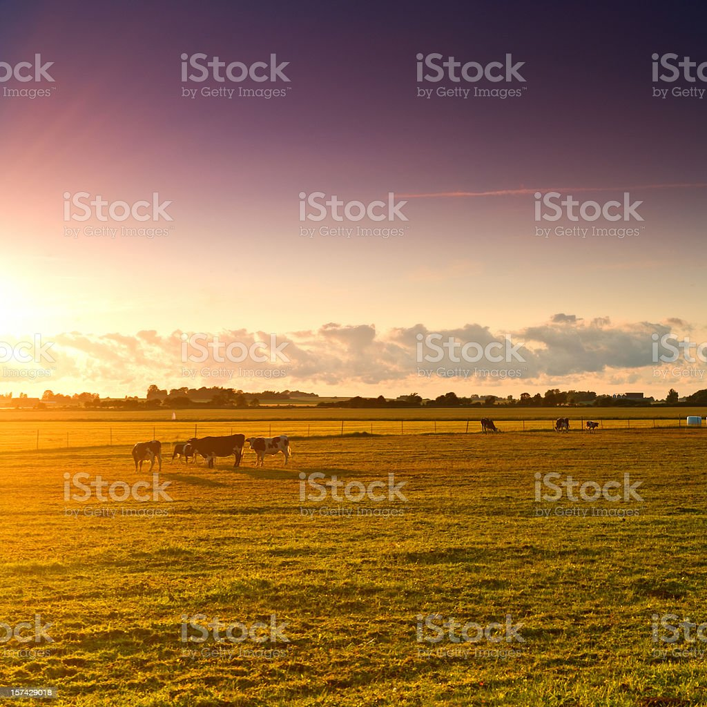 Cows grazing - lake Tåkern Sweden royalty-free stock photo
