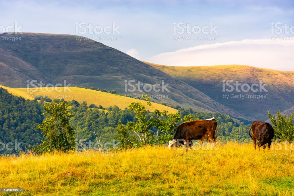 cows grazing near beech forest in mountains stock photo