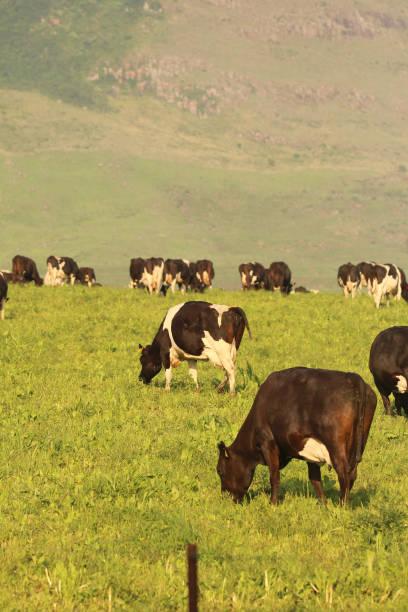 kühe grasen auf einer milchfarm - moo stock-fotos und bilder