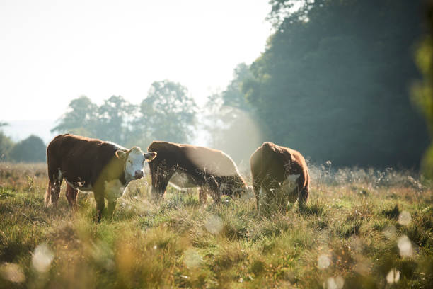 cows grazing on a grassfield on a beautiful summer morning stock photo