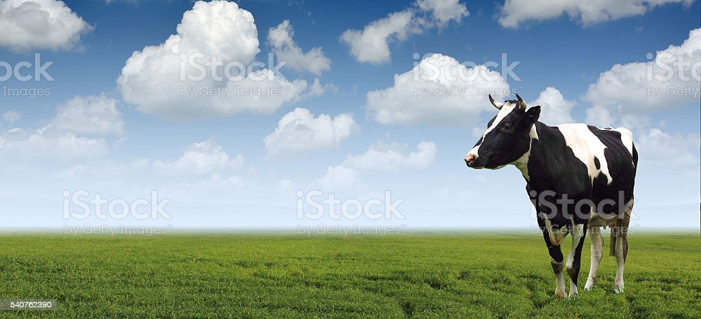 Cows grazing on a green meadow agriculture. stock photo