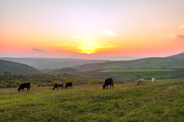 Cows grazing on a green meadow at sunset picture id923149286?b=1&k=6&m=923149286&s=612x612&w=0&h=ywzpybrkfa8cpr4jbrtzqupm3cqw72zkffzg9ancvpq=