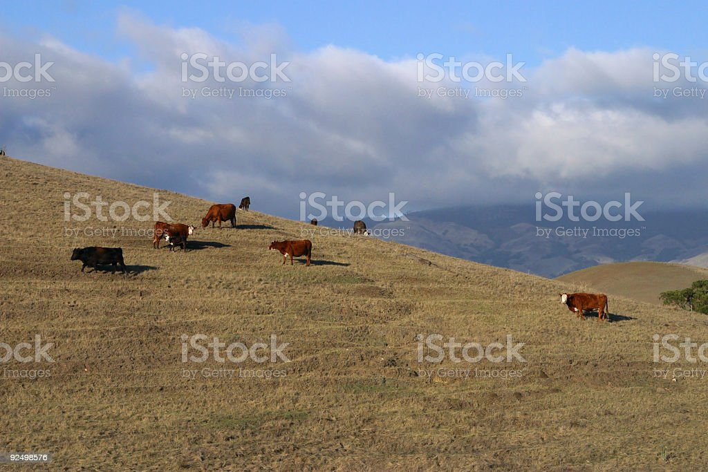 Cows Grazing on a Mountain royalty-free stock photo