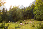Cattle lying and grazing on alpine meadow, Slovenia.