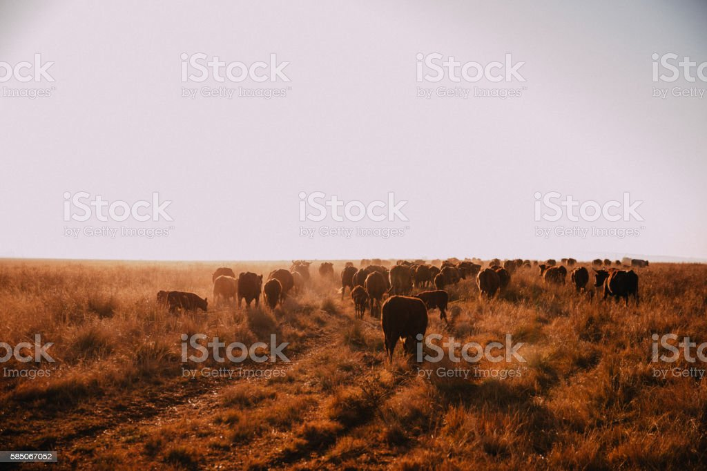Cows grazing on dry grassland in wilderness stock photo