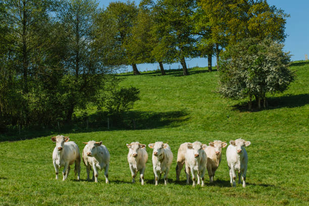 cows grazing on grassy green field on a bright sunny day. normandy, france. cattle breeding and industrial agriculture concept. summer countriside landscape and pastureland for domesticated livestock - allevatore foto e immagini stock