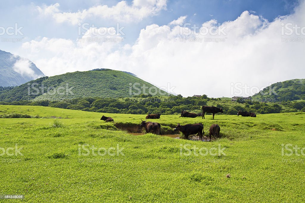 Cows Grazing on lawn stock photo