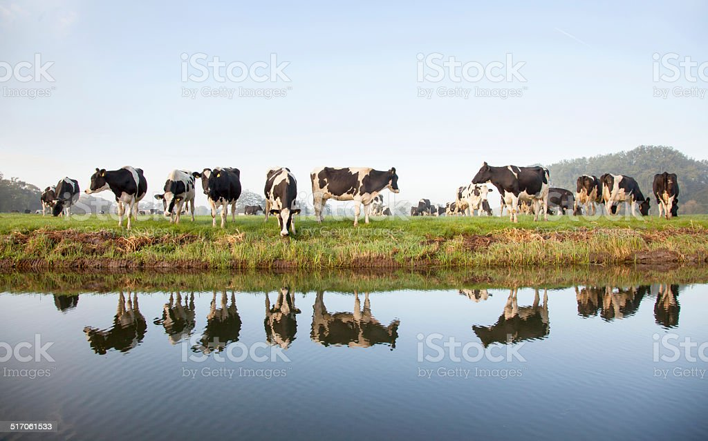 cows grazing on meadow near Zeist in Holland and reflections stock photo