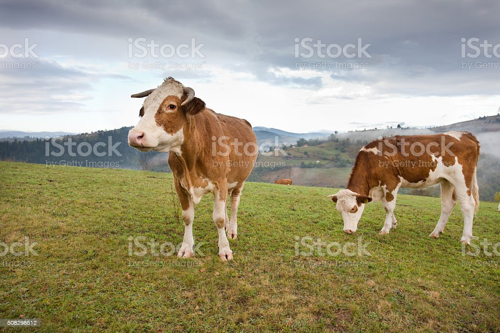 Cows grazing on meadow stock photo
