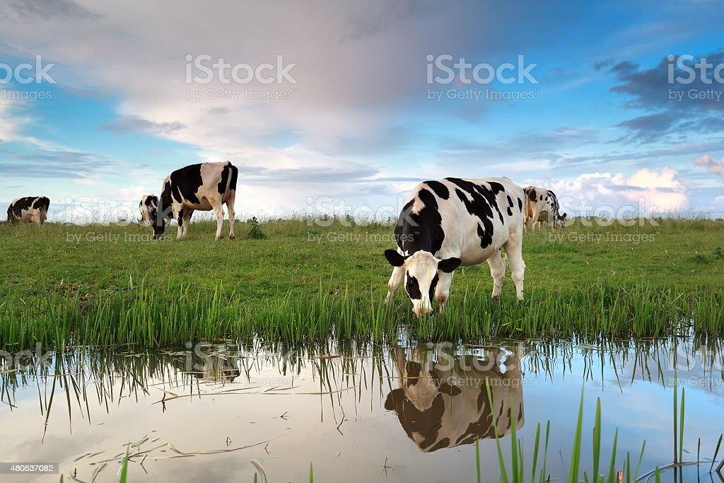 cows grazing on pasture by river stock photo