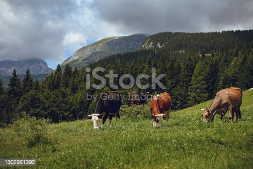 Black and brown domestic cows eating grass in Slovenian Alps