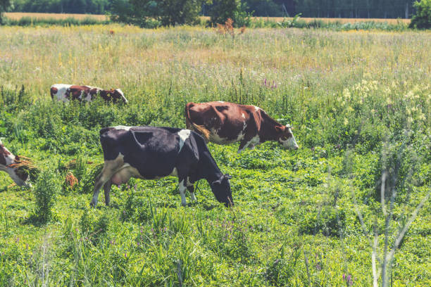 Cows grazing on summer pasture at sunny day. stock photo