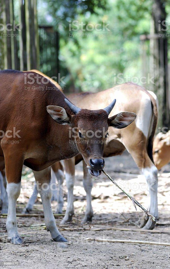 De vacas pastar foto de stock libre de derechos