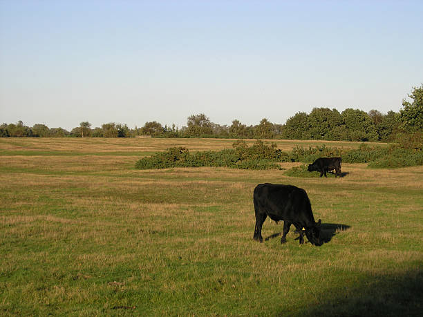 Cows grazing Cows on heath land. skeable stock pictures, royalty-free photos & images