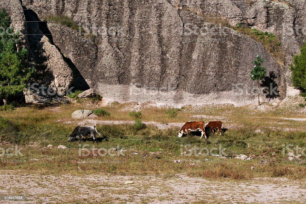 Cows grazing under the Cliffs of Copper Canyons, Chihuahua, Mexico stock photo