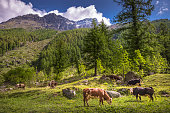 Cows herding and grazing in Alpine landscape – Gran Paradiso – Italy