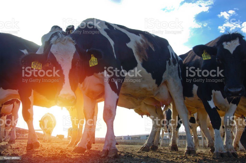Cows in a farm of dairy plant on a sunny day stock photo