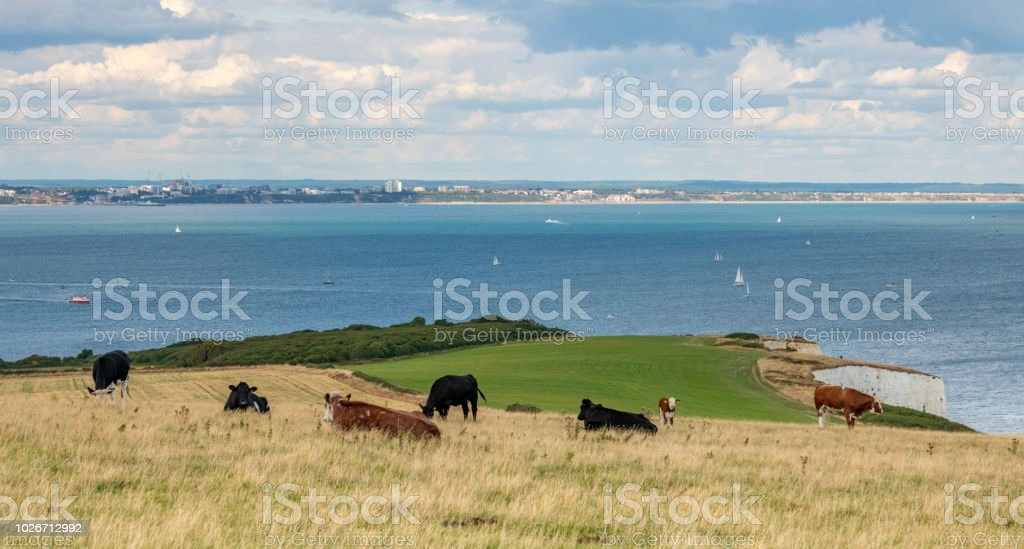 Cows in a field by the coast stock photo