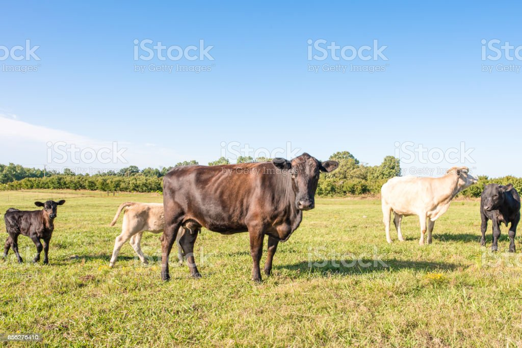 Cows in a field in upstate South Carolina A skinny black cow with ribs visible stands ahead of the group, looking at the camera, in a beautiful pasture, in Upstate South Carolina. Late summer when the grass is turning. Agricultural Field Stock Photo