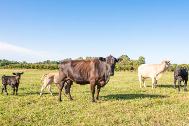 Cows in a field in upstate South Carolina A skinny black cow with ribs visible stands ahead of the group, looking at the camera, in a beautiful pasture, in Upstate South Carolina. Late summer when the grass is turning. apostate stock pictures, royalty-free photos & images