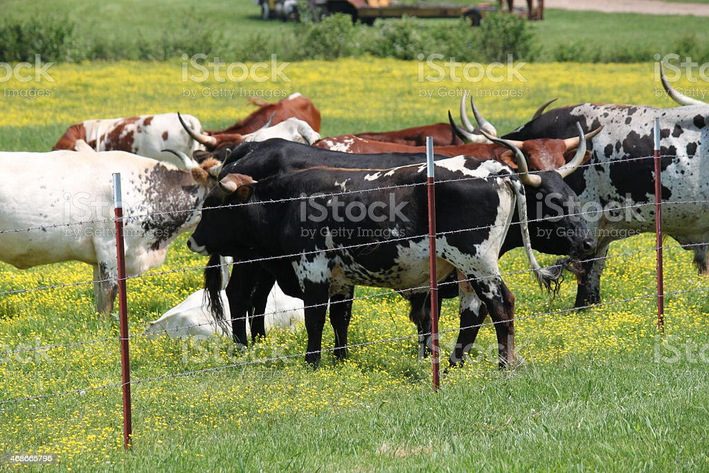 Cows in a field of yellow wildflowers stock photo
