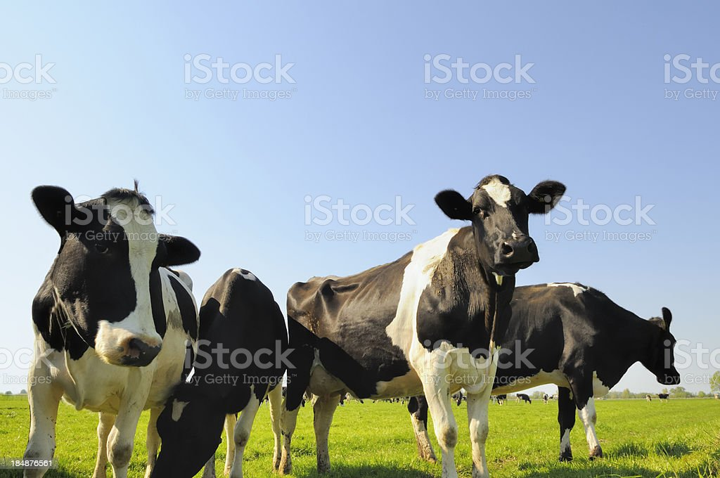 Cows in a field stock photo