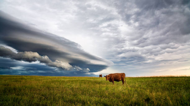 Cows in a field with storm clouds stock photo