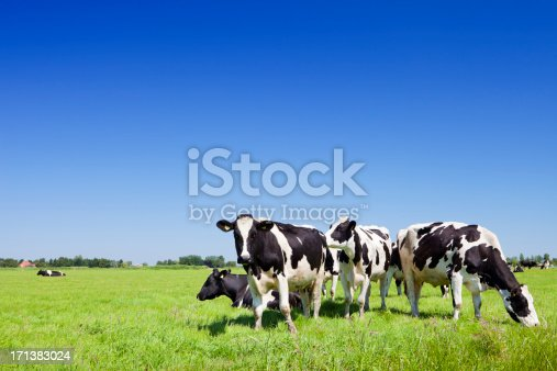 Cows in a field under a clear blue sky.