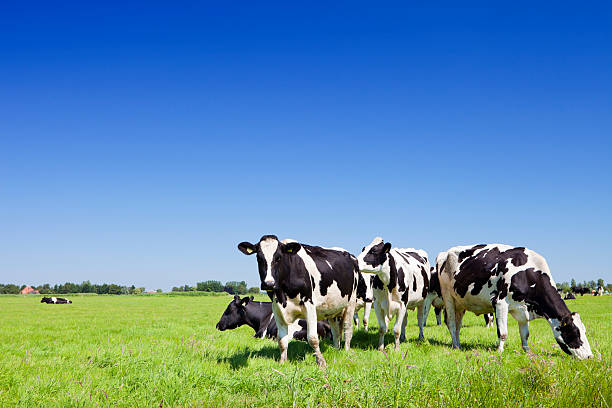 Cows in a fresh grassy field on a clear day Cows in a field under a clear blue sky. dairy farm stock pictures, royalty-free photos & images