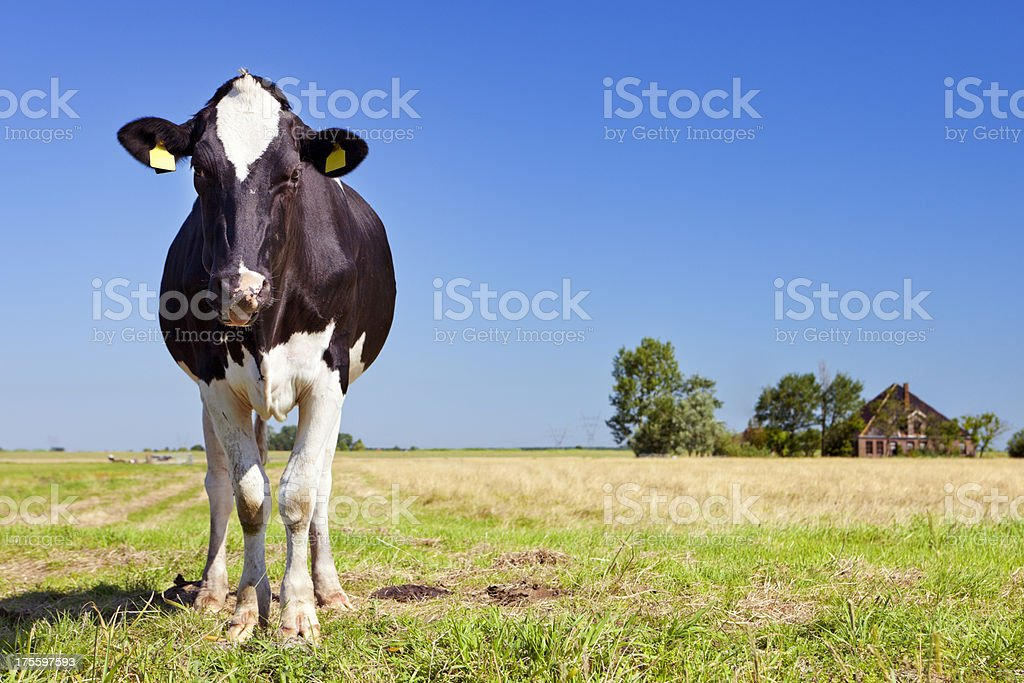 Cows in a grassy field on a clear day royalty-free stock photo