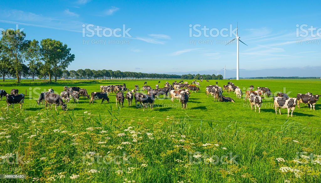 Cows in a green meadow in summer stock photo