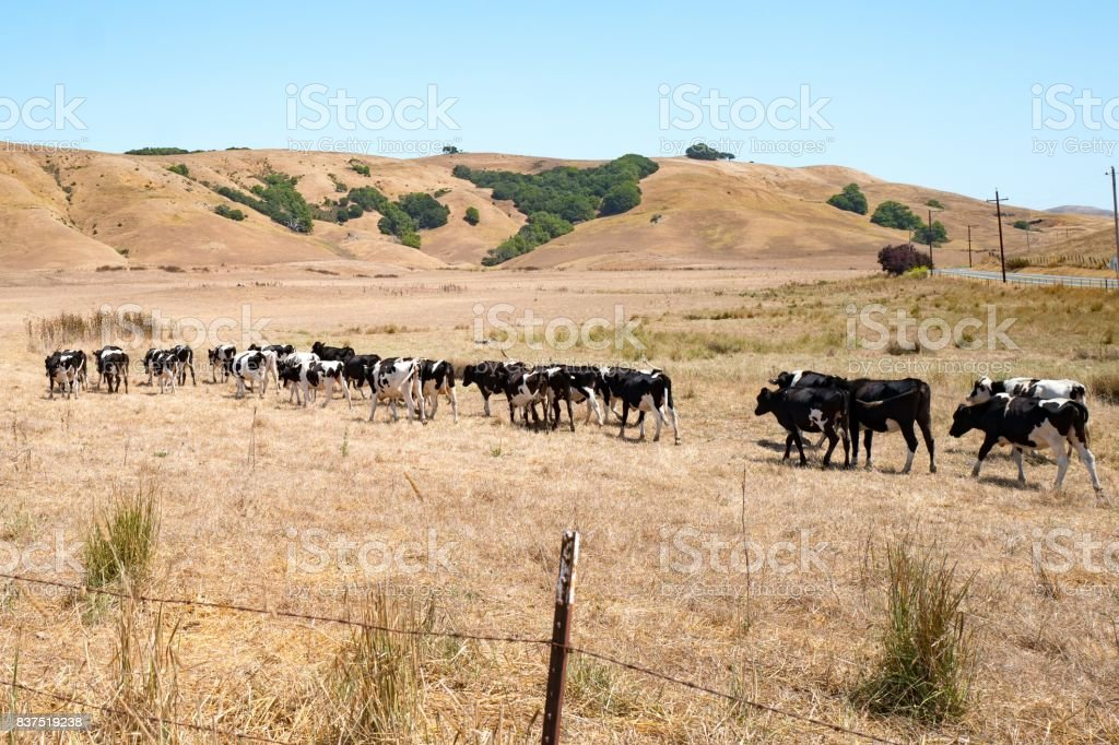 Cows In A Line stock photo