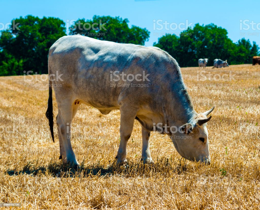 Cows in a meadow, apulia countryside landscape royalty-free stock photo