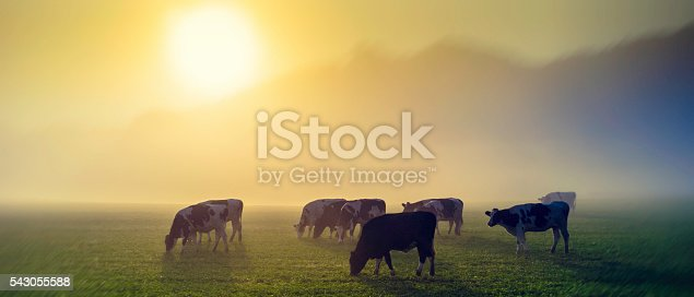 istock Cows in a meadow at sunrise 543055588