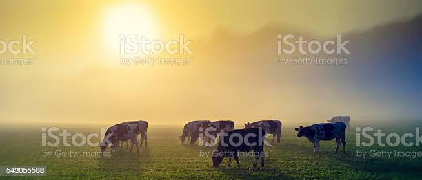 Cows in a meadow at sunrise picture id543055588?b=1&k=6&m=543055588&s=612x612&h=gd23yqwz6rtyt2gpwg2aggl4faauxjpehsda229domy=