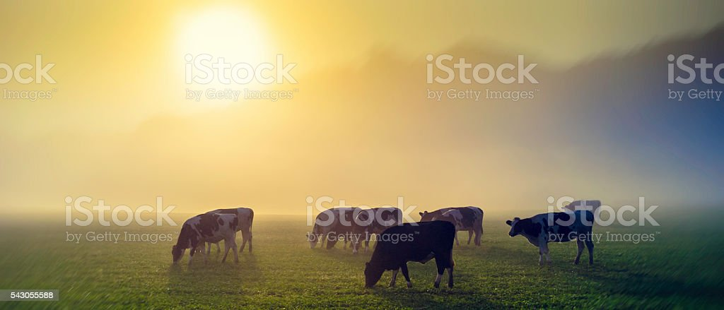 Cows in a meadow at sunrise stock photo