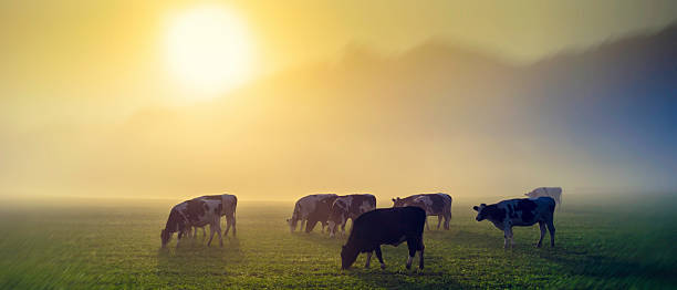 Cows in a meadow at sunrise Panoramic shot of cows on pasture at sunrise, back light. dairy farm stock pictures, royalty-free photos & images