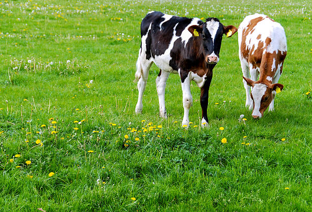 Cows (Holstein) in a meadow stock photo