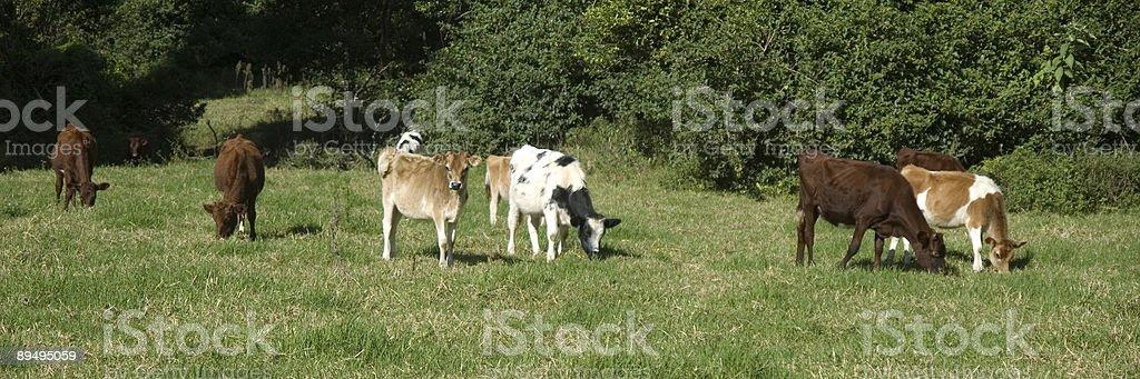 Cows In A Paddock royaltyfri bildbanksbilder