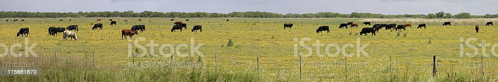 Cows in a panoramic scene royalty-free stock photo