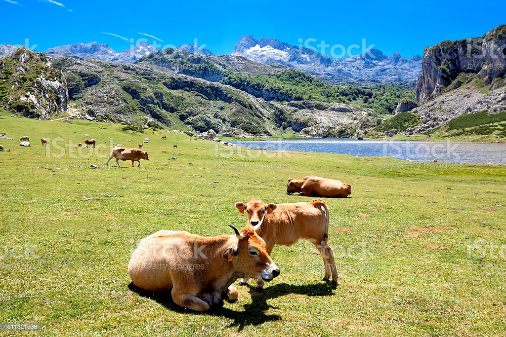 Cows in a pasture near Lake Ercina. Cantabrian. Covadonga. Spain stock photo